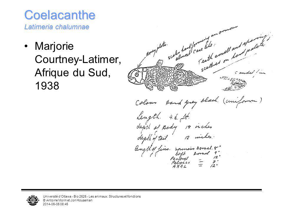 Université dOttawa - Bio 2525 - Les animaux: Structures et fonctions © Antoine Morin et Jon Houseman 2014-06-05 08:46 Coelacanthe Latimeria chalumnae