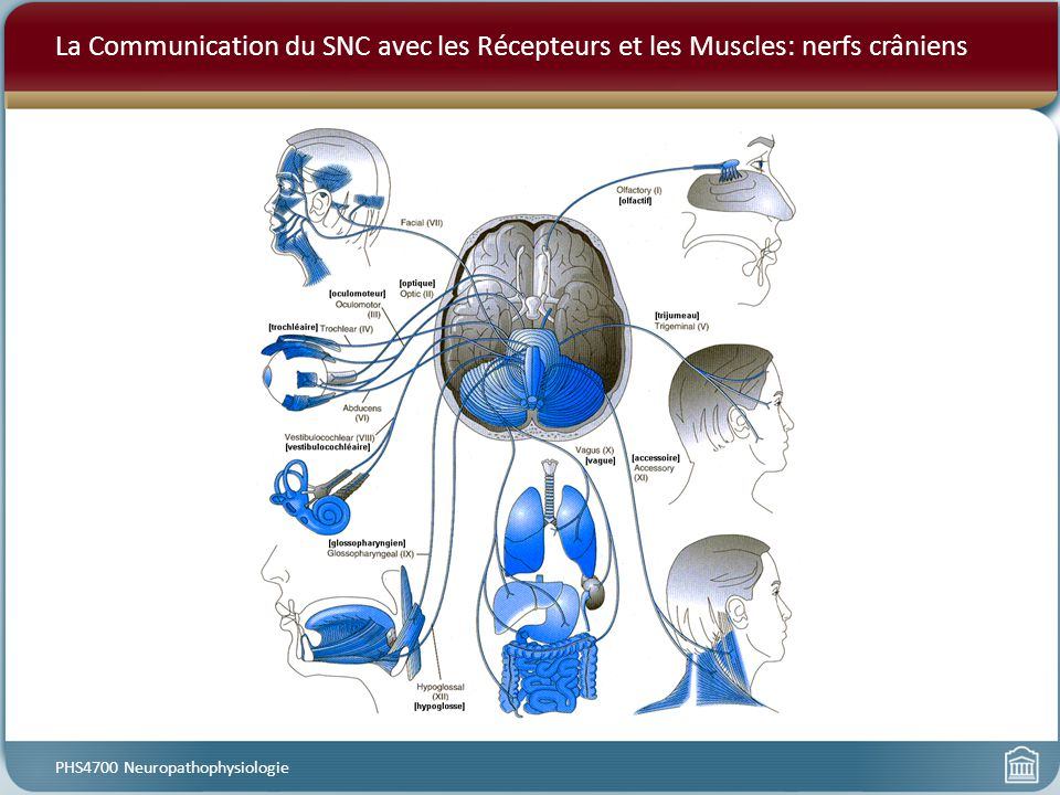 La Communication du SNC avec les Récepteurs et les Muscles: nerfs crâniens PHS4700 Neuropathophysiologie