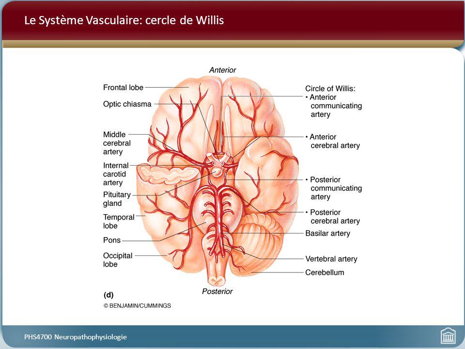 Le Système Vasculaire: cercle de Willis PHS4700 Neuropathophysiologie