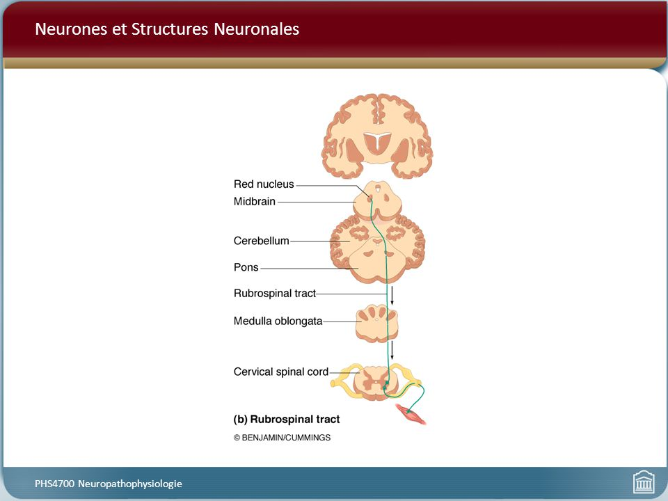 Neurones et Structures Neuronales PHS4700 Neuropathophysiologie