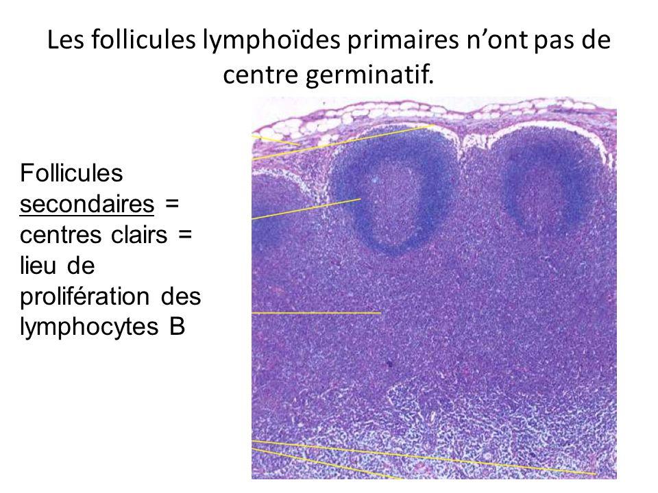 Les follicules lymphoïdes primaires nont pas de centre germinatif. Follicules secondaires = centres clairs = lieu de prolifération des lymphocytes B