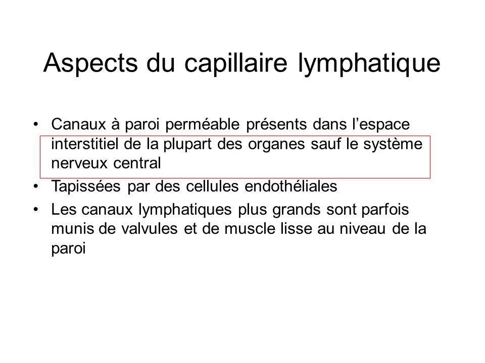 Aspects du capillaire lymphatique Canaux à paroi perméable présents dans lespace interstitiel de la plupart des organes sauf le système nerveux centra