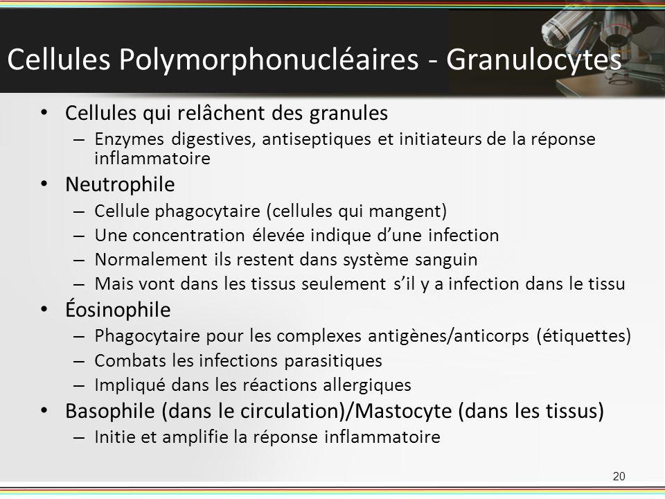 Cellules Polymorphonucléaires - Granulocytes Cellules qui relâchent des granules – Enzymes digestives, antiseptiques et initiateurs de la réponse infl