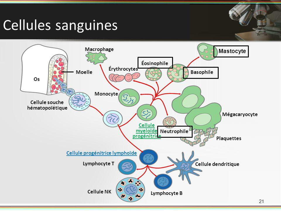 Cellules sanguines 21 Cellule souche hématopoïétique Plaquettes Érythrocytes Éosinophile Neutrophile Mégacaryocyte Mastocyte Basophile Lymphocyte T Ce