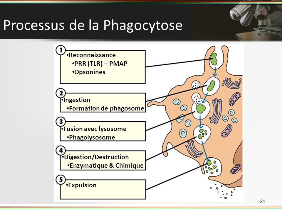 Processus de la Phagocytose 24 Reconnaissance PRR (TLR) – PMAP Opsonines Ingestion Formation de phagosome Fusion avec lysosome Phagolysosome Digestion
