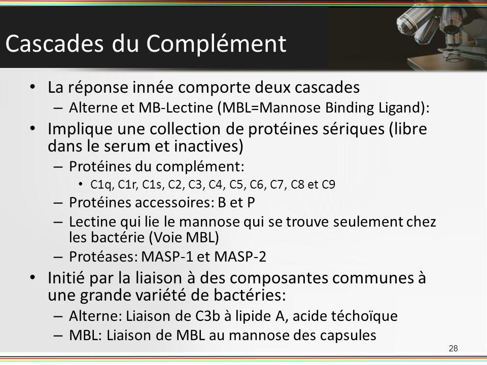 Cascades du Complément La réponse innée comporte deux cascades – Alterne et MB-Lectine (MBL=Mannose Binding Ligand): Implique une collection de protéi