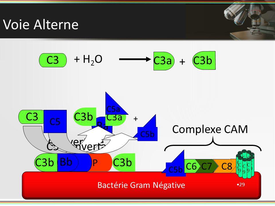 C9C9 C9C9 Voie Alterne 29 Bactérie Gram Négative C3 + H 2 O + C3b Ba P B Bb C3 Convertase C3 C3a C3b C5 Convertase C5 C5a C5b + C6C7 Complexe CAM C3a