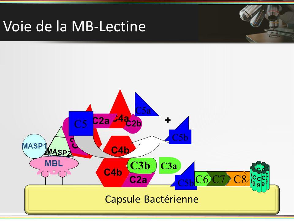C9C9 C9C9 30 Voie de la MB-Lectine 30 Capsule Bactérienne C5b C6C7 C8 C9C9 C9C9 C9C9 C9C9 C9C9 C9C9 C9C9 MBL MASP1 MASP2 C4 C4a C4b C2a C2 C2b C2a C3
