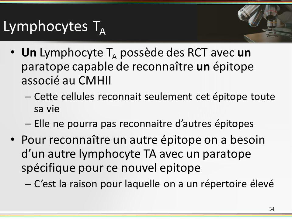 Lymphocytes T A Un Lymphocyte T A possède des RCT avec un paratope capable de reconnaître un épitope associé au CMHII – Cette cellules reconnait seule