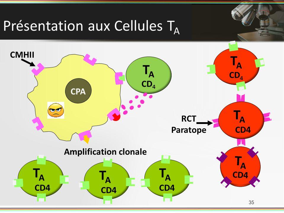 T A CD 4 Présentation aux Cellules T A 35 CD4 TATA TATA TATA TATA TATA Amplification clonale RCT Paratope CPA CMHII T A CD 4