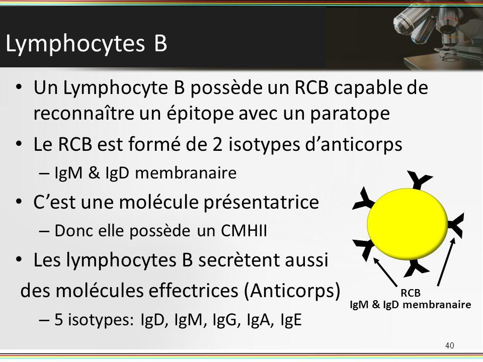 Lymphocytes B Un Lymphocyte B possède un RCB capable de reconnaître un épitope avec un paratope Le RCB est formé de 2 isotypes danticorps – IgM & IgD
