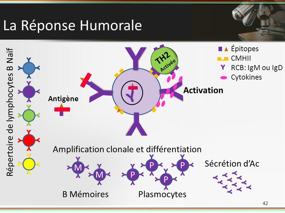 La Réponse Humorale 42 Répertoire de lymphocytes B Naïf Antigène TH2 Activée Activation P P P P Plasmocytes M M B Mémoires Amplification clonale et di
