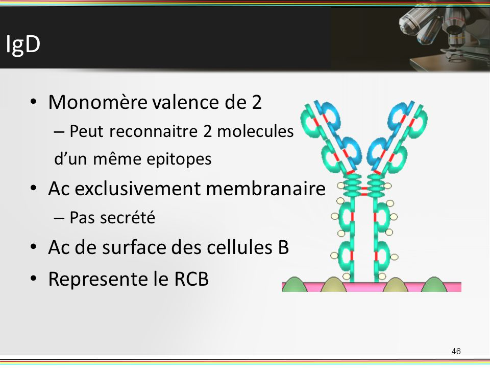 IgD Monomère valence de 2 – Peut reconnaitre 2 molecules dun même epitopes Ac exclusivement membranaire – Pas secrété Ac de surface des cellules B Rep