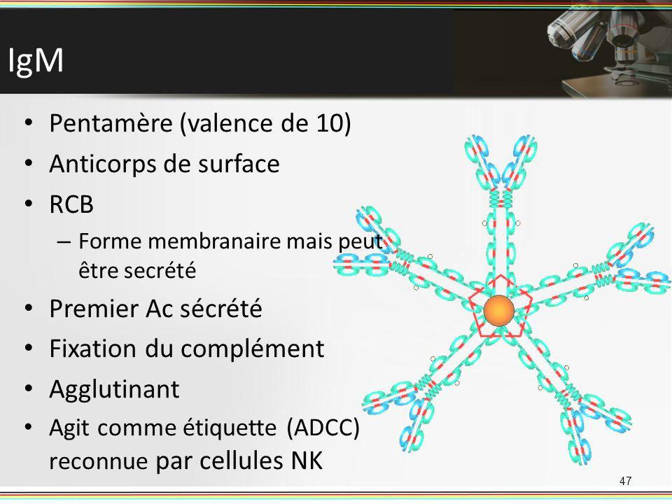 IgM 47 Pentamère (valence de 10) Anticorps de surface RCB – Forme membranaire mais peut être secrété Premier Ac sécrété Fixation du complément Aggluti