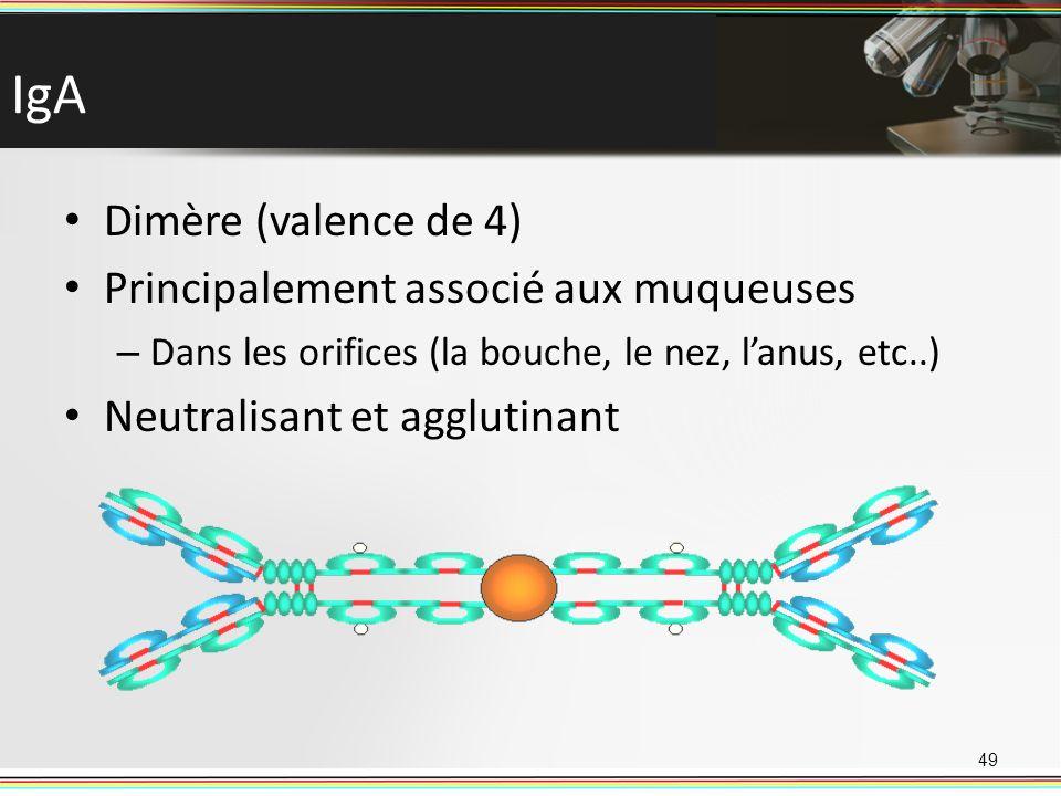 IgA Dimère (valence de 4) Principalement associé aux muqueuses – Dans les orifices (la bouche, le nez, lanus, etc..) Neutralisant et agglutinant 49