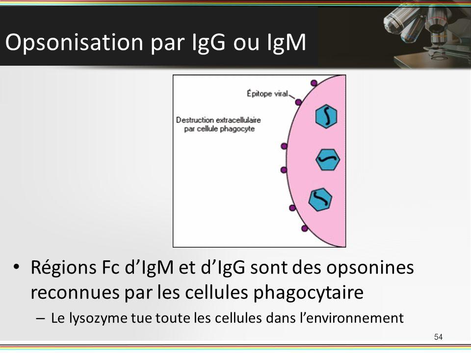 Opsonisation par IgG ou IgM 54 Régions Fc dIgM et dIgG sont des opsonines reconnues par les cellules phagocytaire – Le lysozyme tue toute les cellules