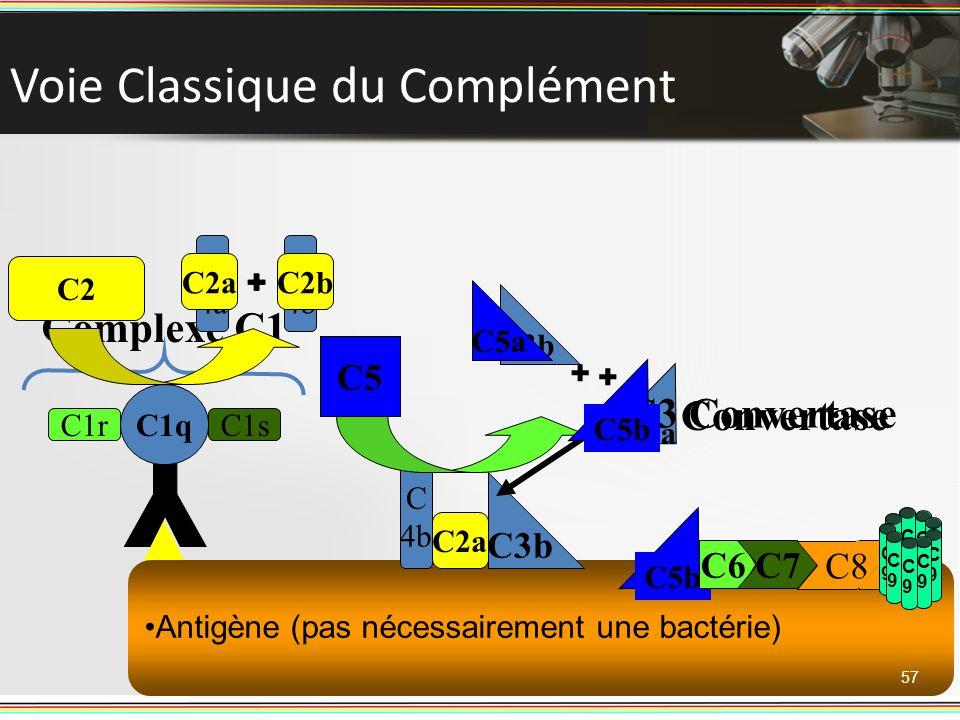 Antigène (pas nécessairement une bactérie) Voie Classique du Complément 57 C1q C1rC1s Complexe C1 C4 C 4a C 4b + C 4b C2 C2a C2b + C5 Convertase C3 C3