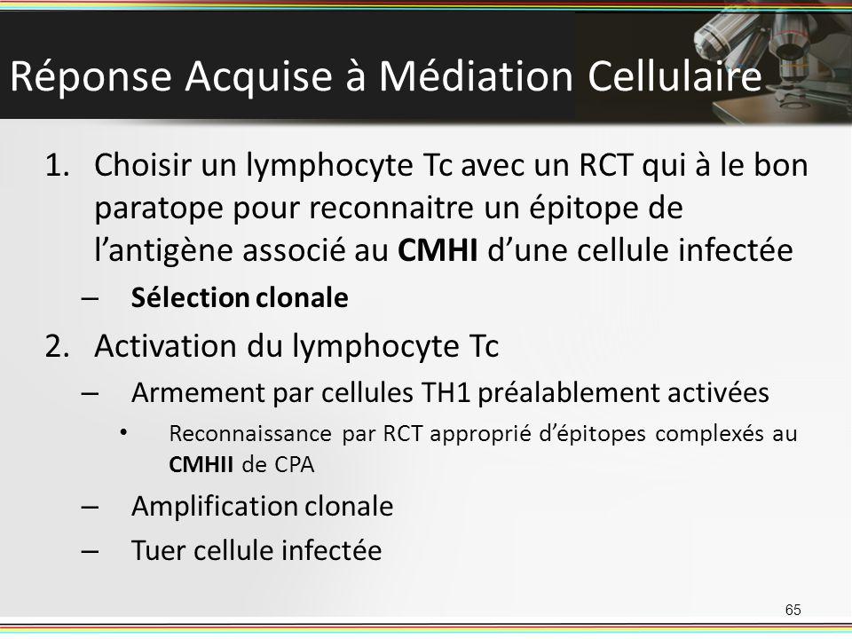 65 1.Choisir un lymphocyte Tc avec un RCT qui à le bon paratope pour reconnaitre un épitope de lantigène associé au CMHI dune cellule infectée – Sélec