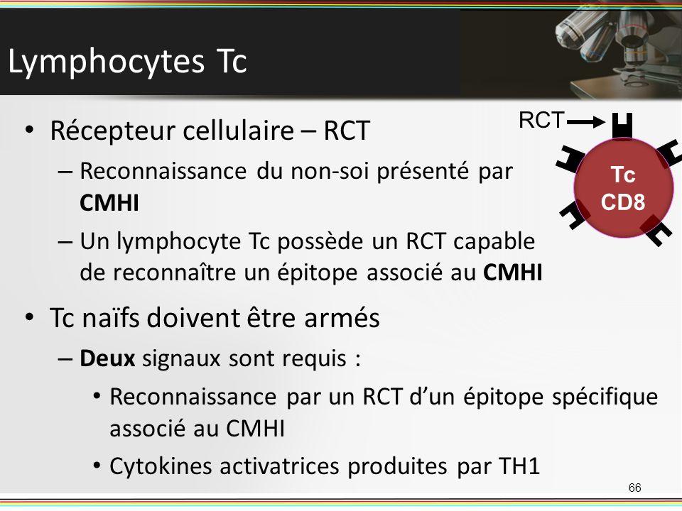 Lymphocytes Tc Récepteur cellulaire – RCT – Reconnaissance du non-soi présenté par CMHI – Un lymphocyte Tc possède un RCT capable de reconnaître un ép