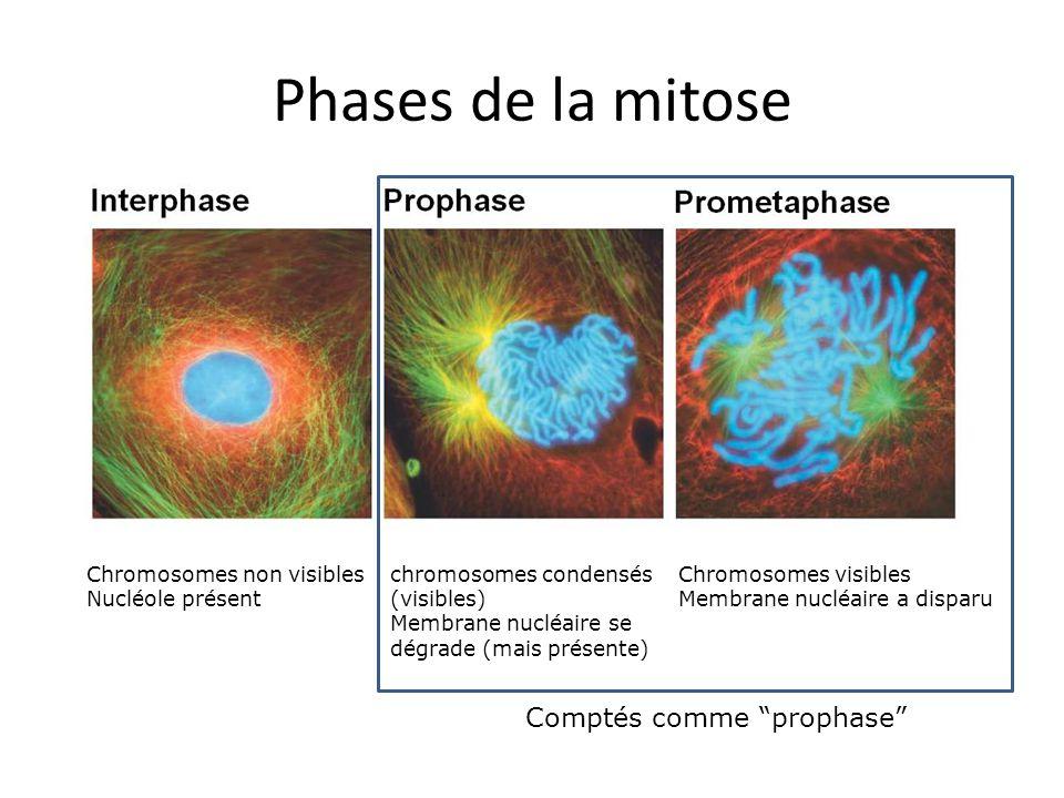 Phases de la mitose chromosomes condensés (visibles) Membrane nucléaire se dégrade (mais présente) Chromosomes non visibles Nucléole présent Chromosomes visibles Membrane nucléaire a disparu Comptés comme prophase