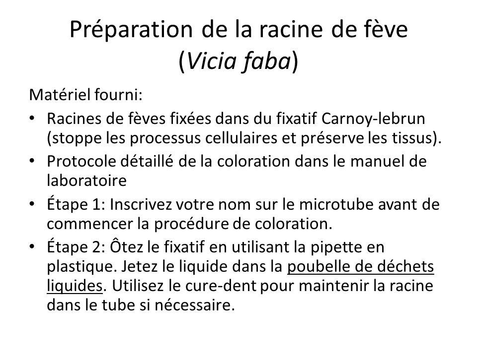 Préparation de la racine de fève (Vicia faba) Matériel fourni: Racines de fèves fixées dans du fixatif Carnoy-lebrun (stoppe les processus cellulaires et préserve les tissus).