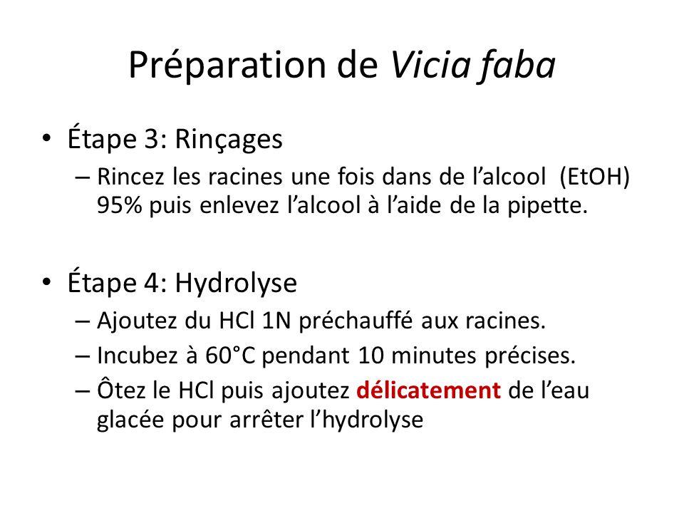 Préparation de Vicia faba Étape 3: Rinçages – Rincez les racines une fois dans de lalcool (EtOH) 95% puis enlevez lalcool à laide de la pipette.