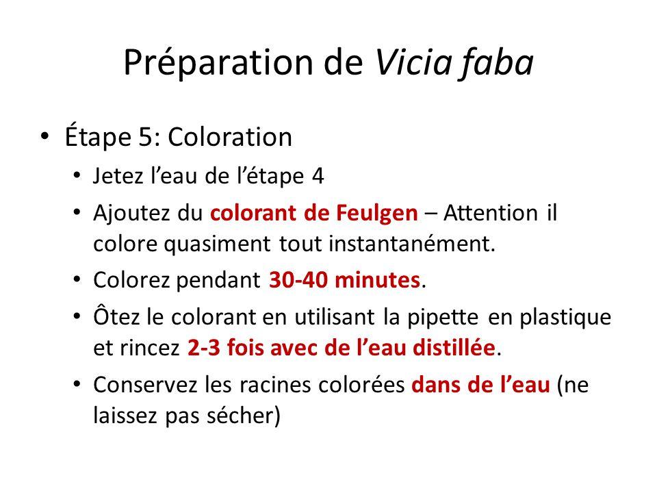 Préparation de Vicia faba Étape 5: Coloration Jetez leau de létape 4 Ajoutez du colorant de Feulgen – Attention il colore quasiment tout instantanément.
