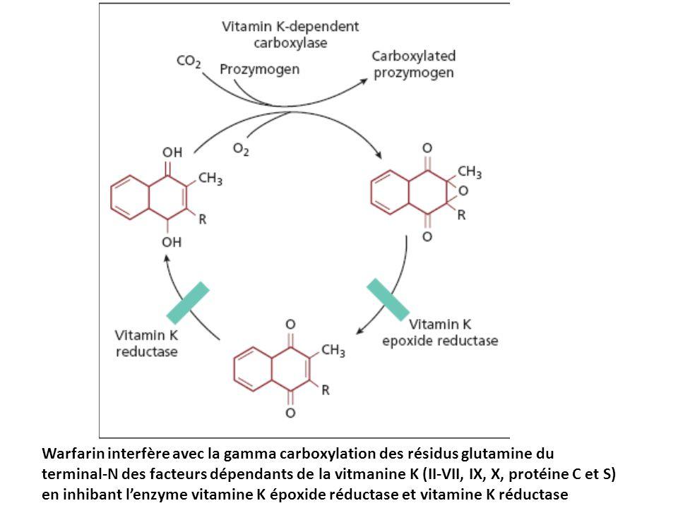Warfarin interfère avec la gamma carboxylation des résidus glutamine du terminal-N des facteurs dépendants de la vitmanine K (II-VII, IX, X, protéine