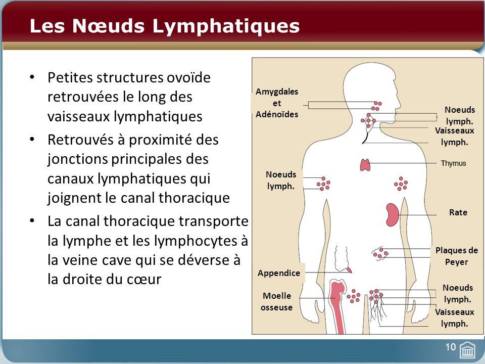 10 Les Nœuds Lymphatiques Petites structures ovoïde retrouvées le long des vaisseaux lymphatiques Retrouvés à proximité des jonctions principales des