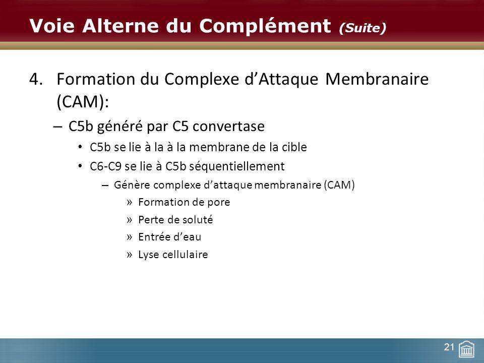 21 Voie Alterne du Complément (Suite) 4.Formation du Complexe dAttaque Membranaire (CAM): – C5b généré par C5 convertase C5b se lie à la à la membrane