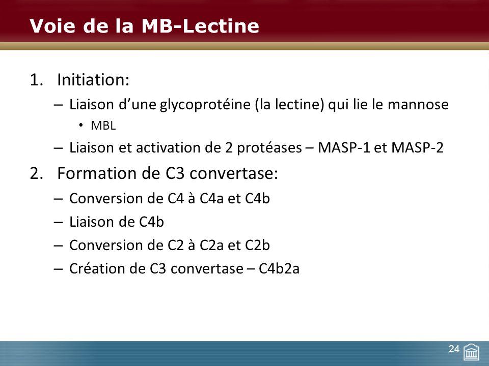 Voie de la MB-Lectine 1.Initiation: – Liaison dune glycoprotéine (la lectine) qui lie le mannose MBL – Liaison et activation de 2 protéases – MASP-1 e