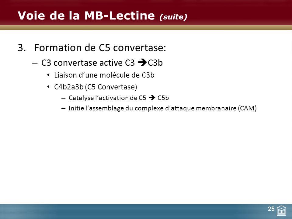 Voie de la MB-Lectine (suite) 3.Formation de C5 convertase: – C3 convertase active C3 C3b Liaison dune molécule de C3b C4b2a3b (C5 Convertase) – Catal