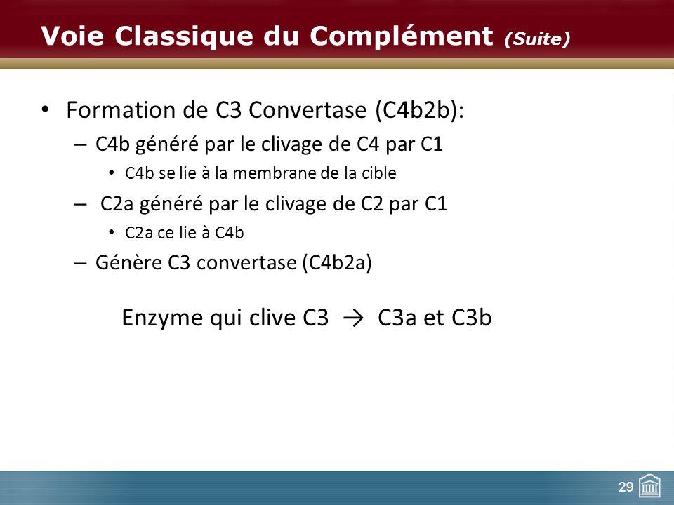 29 Voie Classique du Complément (Suite) Formation de C3 Convertase (C4b2b): – C4b généré par le clivage de C4 par C1 C4b se lie à la membrane de la ci