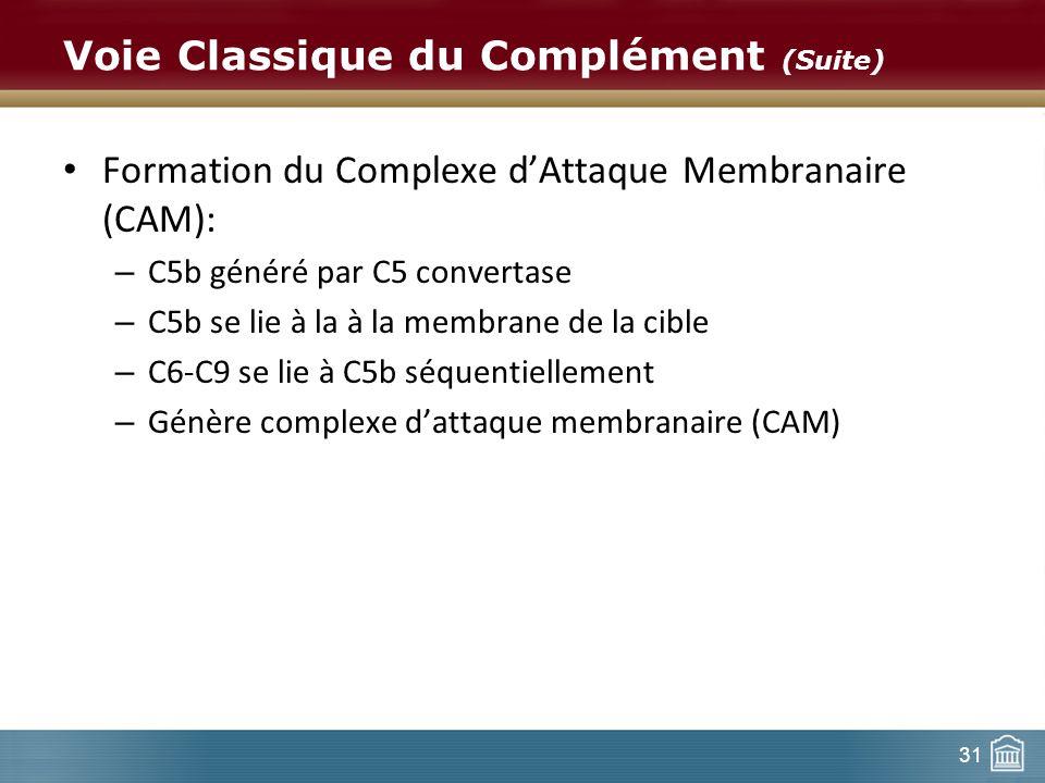 31 Voie Classique du Complément (Suite) Formation du Complexe dAttaque Membranaire (CAM): – C5b généré par C5 convertase – C5b se lie à la à la membra