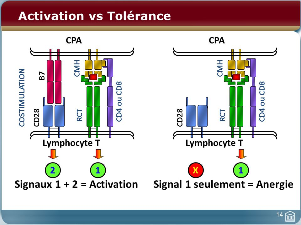 Activation vs Tolérance CPA Lymphocyte T RCT CMH CD4 ou CD8 12 COSTIMULATION B7 CD28 Signaux 1 + 2 = Activation CPA Lymphocyte T RCT CMH CD4 ou CD8 1X