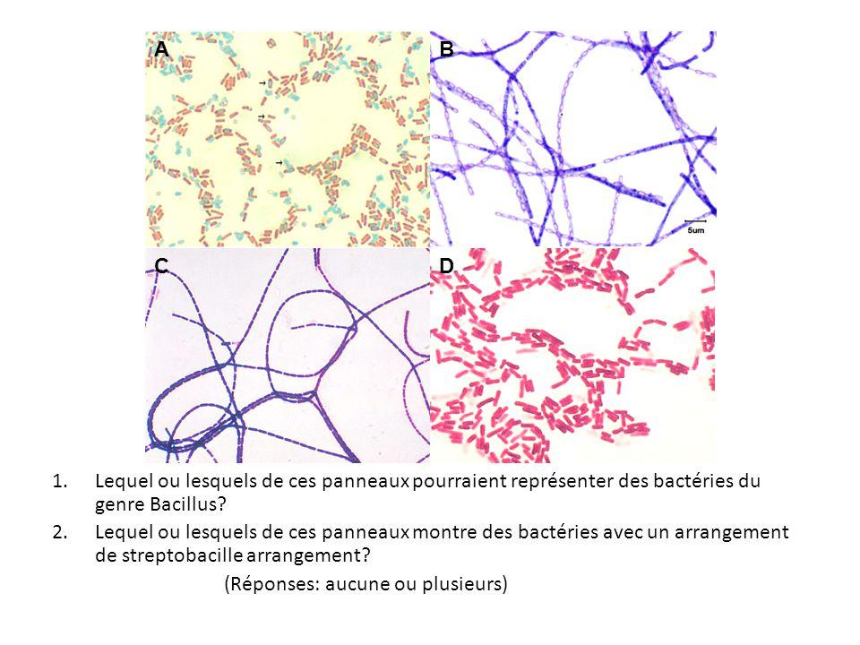 1.Lequel ou lesquels de ces panneaux pourraient représenter des bactéries du genre Bacillus? 2.Lequel ou lesquels de ces panneaux montre des bactéries