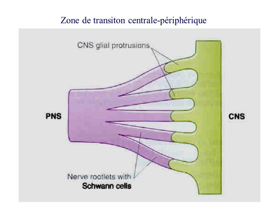 Zone de transiton centrale-périphérique