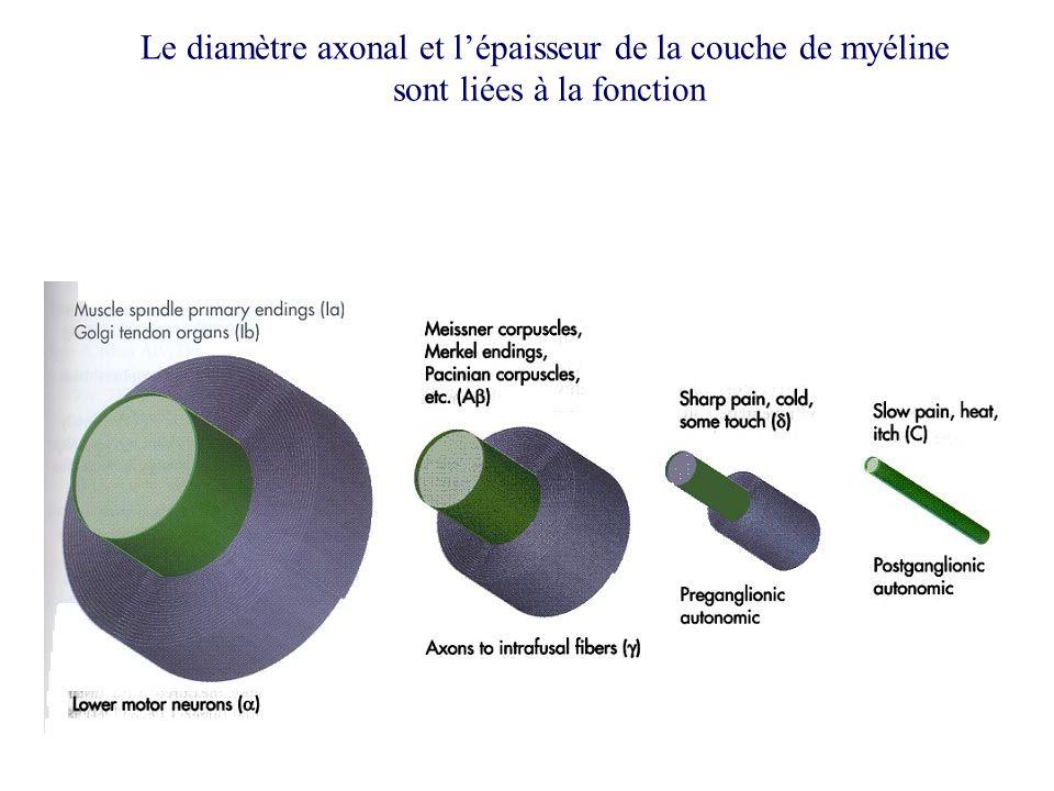 Le diamètre axonal et lépaisseur de la couche de myéline sont liées à la fonction
