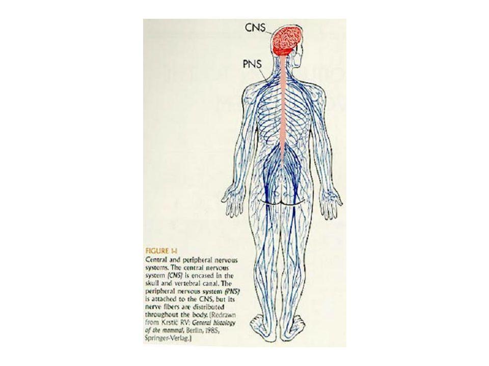 Mononeuropathie chronique- syndrome canalaire Compression dans un canal fibro-osseux: – median –poignet (syndrome du canal carpien) – cubital – coude – Lat.