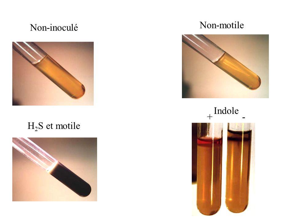 Non-inoculé Non-motile H 2 S et motile Indole + -