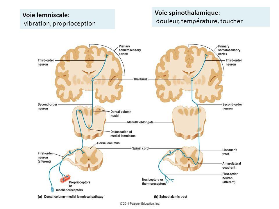 Voie lemniscale: vibration, proprioception Voie spinothalamique: douleur, température, toucher