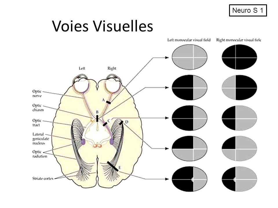 Voies Visuelles Neuro S 1