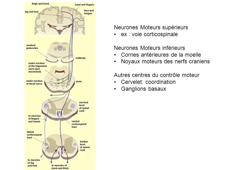 Neurones Moteurs supérieurs ex : voie corticospinale Neurones Moteurs inférieurs Cornes antérieures de la moelle Noyaux moteurs des nerfs craniens Autres centres du contrôle moteur Cervelet: coordination Ganglions basaux