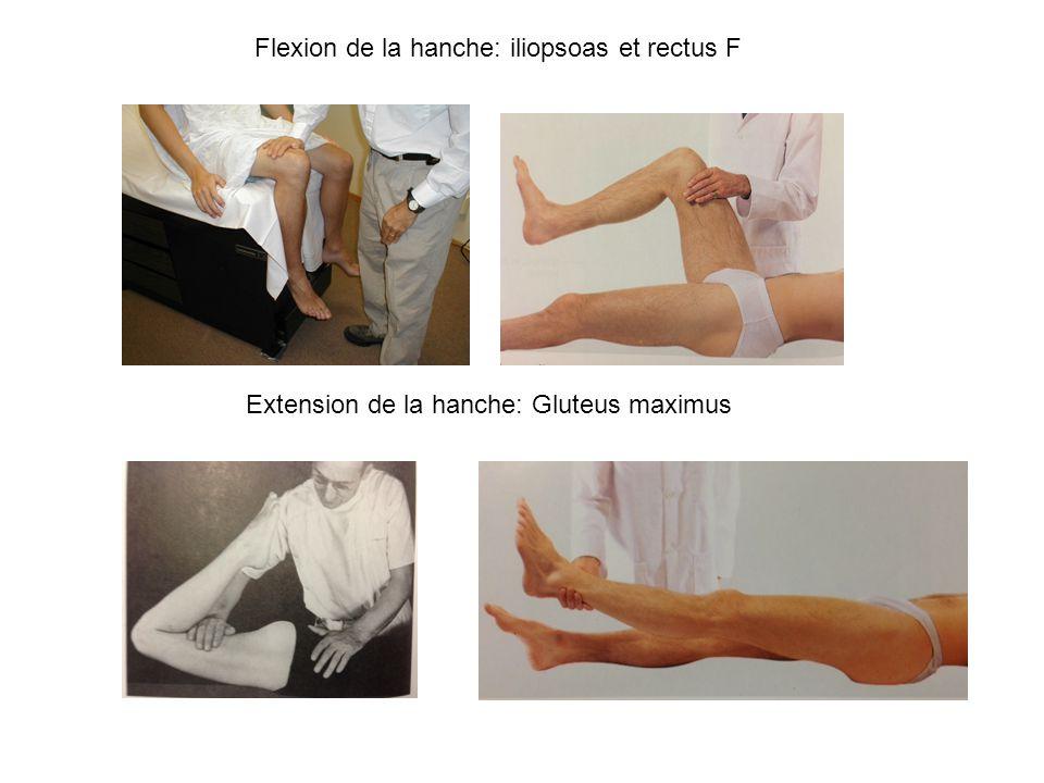 Flexion de la hanche: iliopsoas et rectus F Extension de la hanche: Gluteus maximus
