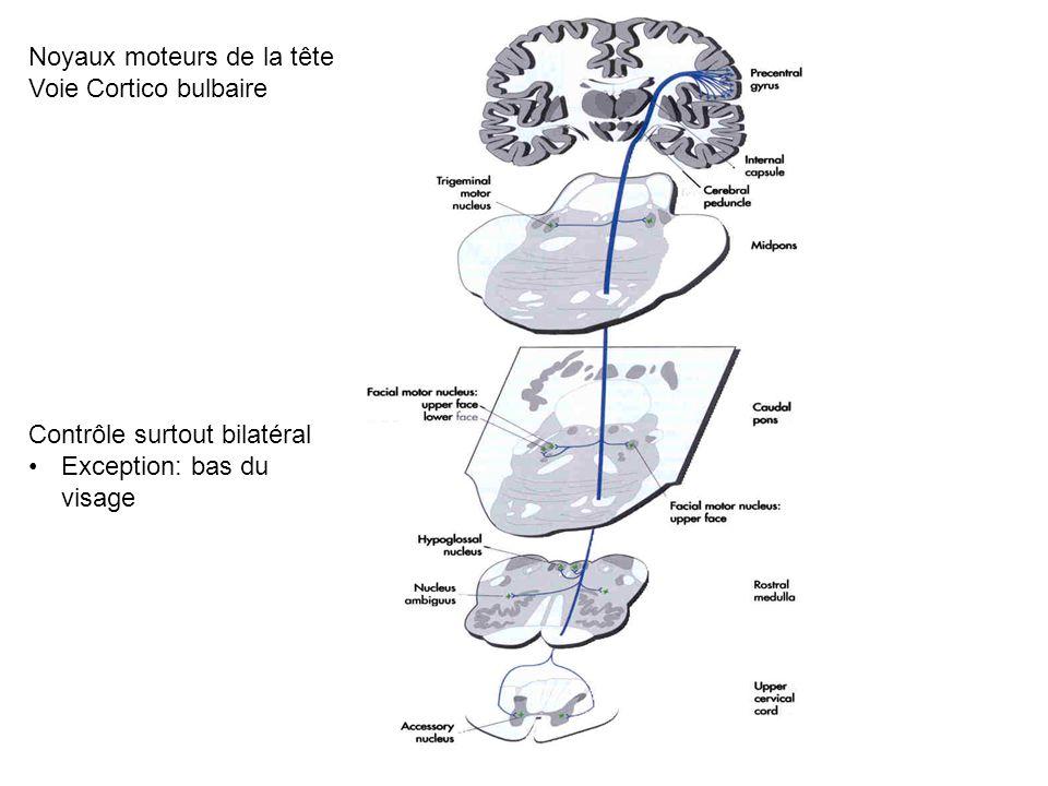 Noyaux moteurs de la tête Voie Cortico bulbaire Contrôle surtout bilatéral Exception: bas du visage