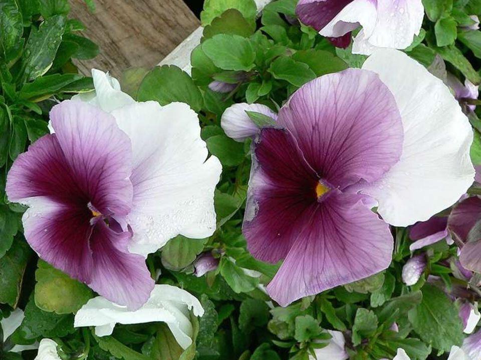 Si vous pouvez… essayez de mettre de douces pensées dans votre vie comme ces jolies fleurs que l'on appelle