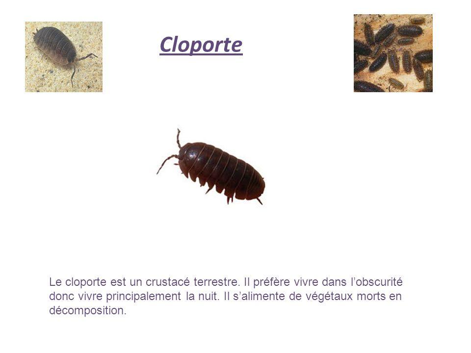 Cloporte Le cloporte est un crustacé terrestre. Il préfère vivre dans lobscurité donc vivre principalement la nuit. Il salimente de végétaux morts en