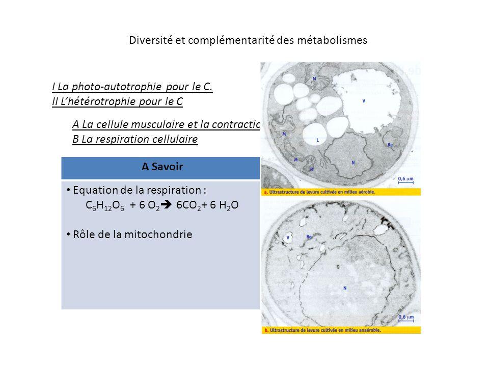 Diversité et complémentarité des métabolismes ribosomes ADN Enveloppe : membrane externe et membrane interne avec crêtes matrice Mitochondrie, représentation schématique diamètre : 0,5 micron – longueur :1 à plusieurs microns