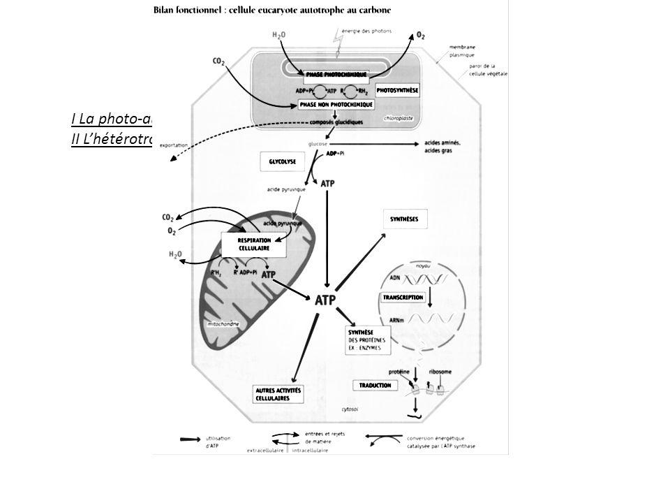 Complémentarité des métabolismes : A léchelle de la cellule : dans la cellule végétale on trouve à la fois des chloroplastes et des mitochondries.