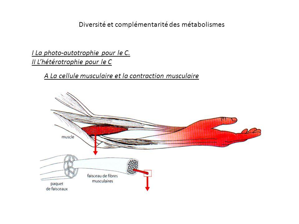Diversité et complémentarité des métabolismes I La photo-autotrophie pour le C. II Lhétérotrophie pour le C A La cellule musculaire et la contraction
